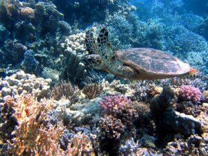 koraal schildpad